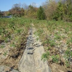綺麗になったローズ畑