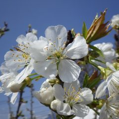 サクランボの花が満開になりました
