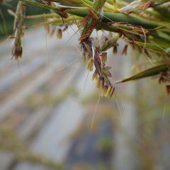 雄蕊が風に揺られて花粉を撒いています