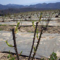 ローズの芽も日毎に伸びて農場も薄っすらと緑色