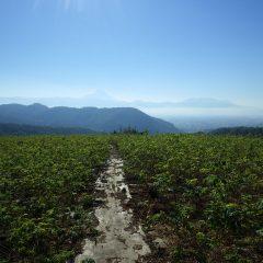 朝から晴れ渡った農場のローズ畑