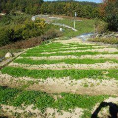 後から種を撒いた畑も若葉の緑がハッキリとしてきました