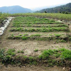 最後に種を撒いた畑もほぼ出揃いました