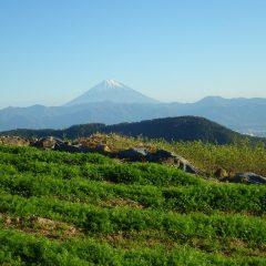 カモマイル畑から夕陽を浴びる富士山を望む