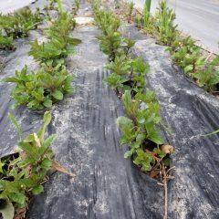 アルベンシスミントの新芽がニョキニョキ出ています