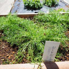 """カモマイル・ジャーマン""""ボードゴールド""""はドイツで医療用に花頭が大きく精油を多く含むよう改良された品種です"""