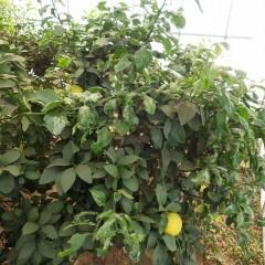 グレープフルーツは新枝が伸び放題になっています