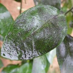 除菌洗剤を使って葉のカビを浮き上がらせます