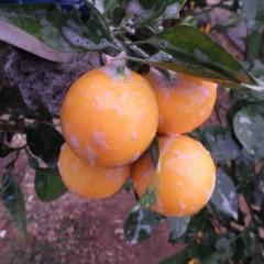 オレンジ・スイートも洗浄しました