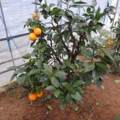 綺麗なったオレンジ・スイート(ブラッドオレンジ)