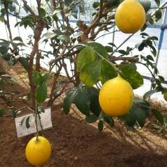 黄色にお色直しをしたレモン