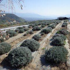 ラベンダー・スーパー&グロッソ畑の剪定をしました