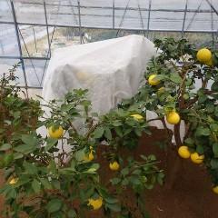 グレープフルーツは熟していないので実を付けたまま通気性のある防寒用のシートを被せました