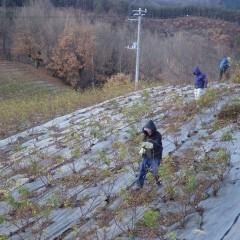 清掃の終わったローズ畑では寒風の中で剪定作業が始まりました