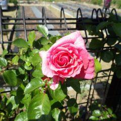 つるバラが咲き始めました