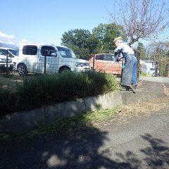 事務局前にあるローズマリーの生垣を剪定します