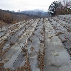 剪定作業の終わったローズ畑