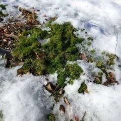 溶け始めた雪から元気に顔を出したカモマイル・ローマン