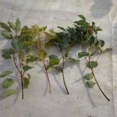 5本の苗木で4本の枝が折れてしまいました