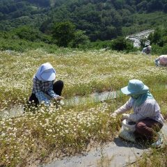 30℃を超える真夏日なった農場のカモマイル・ジャーマン畑