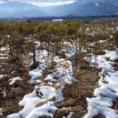 事務局前のローズ畑は18日に積もった雪が昼過ぎにようやく溶け始めました