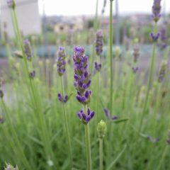 事務局前のラベンダー・ロヤルパープルの花穂が紫色に変わり始めました