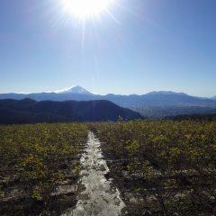 ローズ畑には冬将軍の寒風が吹き荒れ冬晴れに浮かぶ富士山が雪煙を巻き上げています