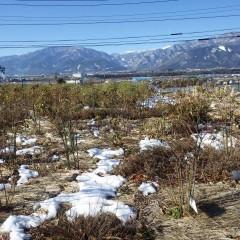 18日に積もった事務局前の雪は大分溶けて来ました