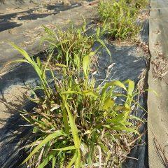 パルマローザも収穫後の切り株から新しい葉が伸びています