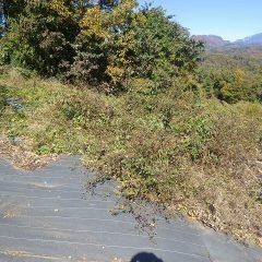 ローズの剪定枝を捨てる場所を確保するための除草作業