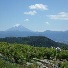 そんな姿を富士山がやさしく見守っていました