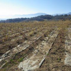 清掃作業が終わり綺麗になって新年を迎えたローズ畑