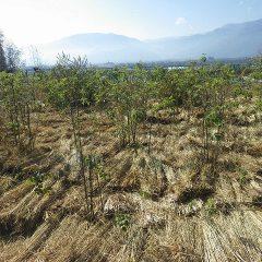 事務局前のローズ畑にワラを敷き詰めました