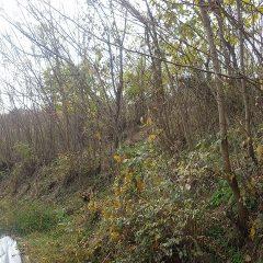 上の耕作放棄地からニセアカシアなどの雑木が迫って来たので伐採する事にしました