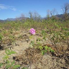 除草作業の終わったローズ畑にダマスクローズが一輪だけ咲いていました