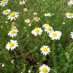カモマイル・ローマンが咲き始めました