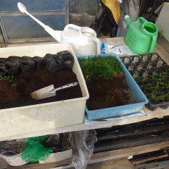 カモマイル・ジャーマンの残っていた苗を鉢上げしました