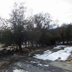 風除けのユーカリが伸びて日陰になっているブラックマロウの畑だけ雪がまだ残っていました