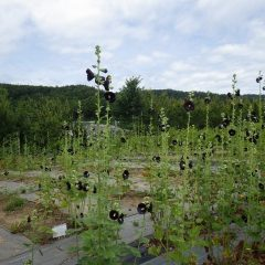 ブラックマロウは毎日次々に花を咲かせています
