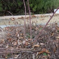 古い枝は株元から切り取り、新しい枝を残しました