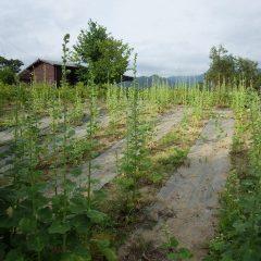 収獲の終わった畑まだまだ蕾は沢山あります