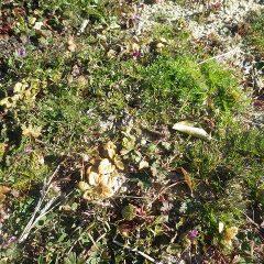 カモマイル・ジャーマンの苗は厳しい寒さに耐えています