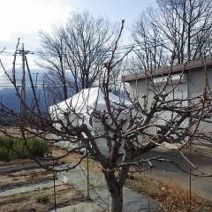 サクランボの枝剪定