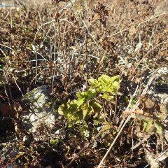 かろうじて緑の葉っぱが残るスペアミント