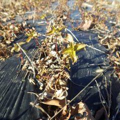 葉っぱは赤茶けているものの枯れずに残っているペパーミント