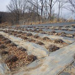 吹き寄せられた枯れ葉がラベンダー畑に溜まっています