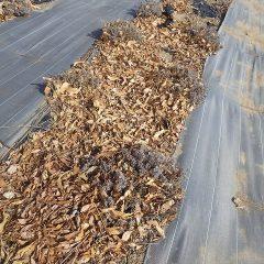 枯れ葉に埋もれてしまったラベンダー