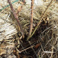 枝の更新作業をしていると害虫の食害にあった枝を発見
