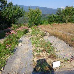 収獲の終わったエキナセア畑
