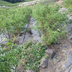 除草の終わったローズ畑